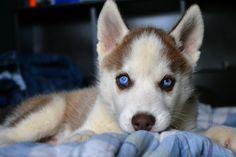 husky♥