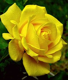 Perfect yellow rose.