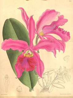 Cattleya x whitei. Curtis's botanical magazine v.126 [ser.3:v.56] (1900). London ;New York [etc.] :Academic Press [etc.] Biodiversitylibrary. Biodivlibrary. BHL. Biodiversity Heritage Library