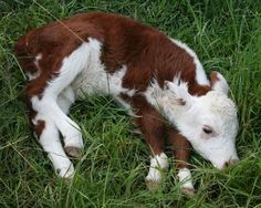 polled hereford baby. By far the sweetest and most precious of all breeds of cattle. I'm in love. <3