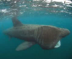 Photos: The 10 Coolest Facts You Never Knew about Sharks Different Types Of Sharks, Basking Shark, Shark Photos, Water Animals, Marine Fish, Photo Credit, Whale, Fun Facts, Creatures