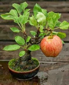 bonsai apple tree - you can reduce the size of the tree and its leaves but not the fruit it grows. Gorgeous!