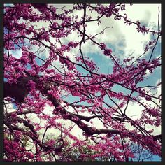 #purple #cherryblossom #sakura #flower #floral #macro #closeup #centralpark #spring #newyork #newyorkcity #manhattan #mytravelgram