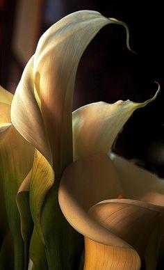 https://flic.kr/p/CN3dBZ | Cala lilies
