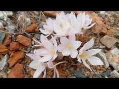 Gethyllis transkarooica in flower in habitat Bulb Flowers, Bulbs, Habitats, Seasons, Youtube, Plant, Lightbulbs, Seasons Of The Year, Bulb