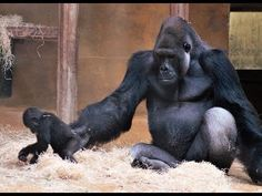Anandi have her second Birthday .This Video is from one off the first Time she come to Buzandi the Silverback and Father. Promised Land, Primates, Pets, Youtube, Animals, Animales, Primate, Animaux, Animal