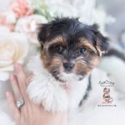 Toy or Teacup Yorkies for sale   Teacup Puppies & Boutique Micro Teacup Yorkie, Teacup Yorkie For Sale, Yorkies For Sale, Yorkie Puppy For Sale, Teacup Puppies, Toy Yorkie, Biewer Yorkie, Wire Fox Terrier Puppies, Toy Yorkshire Terrier
