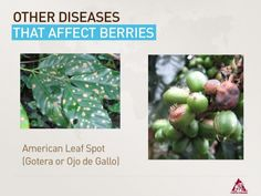 """Berrie Diseases """"American Leaf Spot"""" Send your questions using the hashtag #CCHLS on Twitter"""
