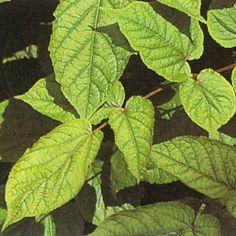LUNDARALIA i gruppen Krydd- och Medicinalväxter / Medicinalväxt hos Impecta Fröhandel (3059)