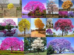 Ipês coloridos