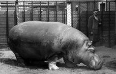 Belle, la hipopótamo que sobrevivió al sitio de Leningrado