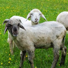Alpines Steinschaf is a breed of domestic sheep indigenous to the Eastern Alps of Austria and southern Germany. It is used for wool, meat and vegetation management.