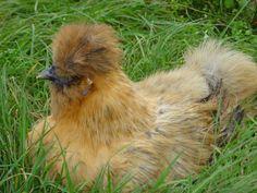 BEARDED PARTRIDGE SILKIE HEN Holyfield waterfowl -- ornamental & domestic waterfowl