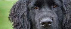 Newfoundland Dog Article - Article By Peter Maniate Giant Dogs, Nba Stars, Newfoundland, Labrador Retriever, Best Friends, Animals, God, Dogs, Labrador Retrievers
