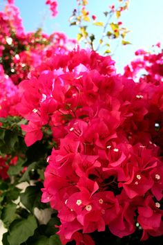 .A favorite in the southwest US -Bougainvillea- The petals are like tissue paper, colors are brilliant, but they have loads of sharp thorns.