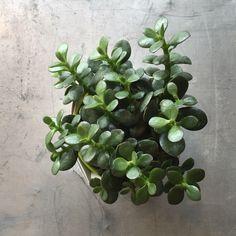 Succulent - Crassula Argentea 'Baby Jade'