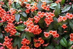 Crossvine (Capreolata) -- perennial semi-evergreen clinging vine good for climbing brick; medicinal properties; fragrant flowers that attract butterflies and hummingbirds; leaves change to a reddish purple in the winter