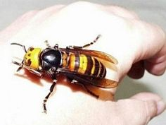 Japanese-Giant-Hornet: This small insect, found in Japan, is horrifying. The three-inch hornet sprays flash-melting poison into its prey's eyes! The pheromones in the poison attract every other hornet in the nest to come and attack you, too. It can fly 50 miles in a day, so you're unlikely to escape it. They kill around 40 people per year.
