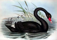 For some 1500 years, the black swan existed in the European imagination as a metaphor for that which could not exist.