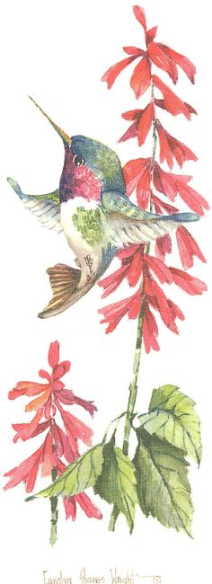Broad-Tailed Hummingbird with Salvia print $10.00