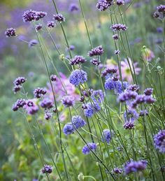 Verbena & Scabiosa: perennial flowers that are a compliment to ornamental grasses