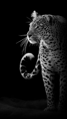 Jaguar Wallpaper, Wild Animal Wallpaper, Wildlife Wallpaper, Tiger Wallpaper, Egypt Wallpaper, Wild Animals Photos, Animals And Pets, Cute Animals, Majestic Animals