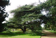 Atlantic cedar in the Botanic Gardens