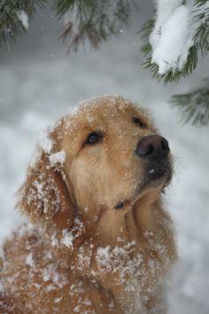 Finn ❤ Golden Retriever playing in the snow