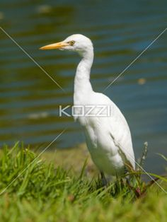 great egret. - Close-up image of a Great Egret bird.