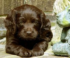 Adorable Boykin Spaniel Puppy