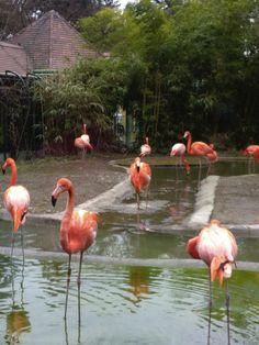Flamingo, Animals, Flamingo Bird, Animais, Flamenco, Animales, Animaux, Animal, Dieren