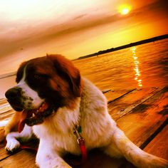 This is how I picture our boy. Sure miss that big guy! Big Dogs, Cute Dogs, Dogs And Puppies, Dog Love, Puppy Love, Saint Bernards, Gentle Giant, Fur Babies, Behavior