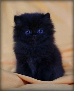 awwwww. Fluffy black kitten. This reminds me a bit of my cat, Boo, when he was little. I have 14 cats right now.