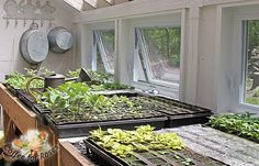 In mid-March I can start the first seeds in this shed. I plant perennials and cool-weather veggies such as broccoli first, followed in April by the annuals. By mid-May this bench is crowed with young plants, and frequently there are also pots of tomatoes and dahlias on the floor.