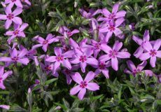 Kruipphlox - phlox subulata atropurpurea Bodembedekkers | Tuinplantencentrum De Pauw