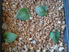 Eriospermum porphyrium
