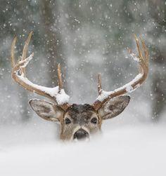 Super foto! hert in de sneeuw
