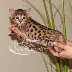 F3 Savannah Kittens For Sale - Select Exotics