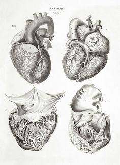 Grabado sobre la anatomía del corazón de 1800