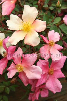Treloar Roses - MUTABILIS. Old Fashioned Rosa chinensis mutabilis.