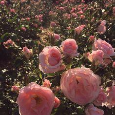 Unique All Over Nature, Landscapes Prints: www.shop Unique All Over Nature, Landscapes Prints: www. Nature Aesthetic, Flower Aesthetic, Aesthetic Vintage, Aesthetic Fashion, My Flower, Beautiful Flowers, Tout Rose, Plantas Bonsai, Plants Are Friends