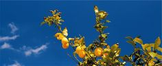 Alt du alltid har ønsket å vite om sitrustrær og overvintring av dem - Frukt, Hagetips, Livsstil, Tre- Og Buskpleie, Vinter