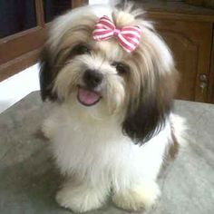 19 Best Gold And White Shih Tzu Images On Pinterest Cute Dogs