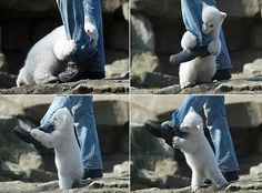Polar bear attack! Watch out! ;)
