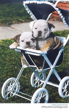 Bulldog pups City and Bodie out for a stroller ride