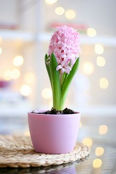 Stock-Foto : Pink hyacinth in bloom My Flower, Pretty In Pink, Beautiful Flowers, Bonsai Plante, Couleur Rose Pastel, Orquideas Cymbidium, Decoration Plante, Pink Day, Deco Floral