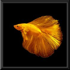 "Peem The Golden Dragon  Eplore Highest position # 364 on Monday, August 25, 2008 Front Page chosen by the administrators of Images ""On Black"" October 01, 2008 SIAMESE FIGHTING FISH"