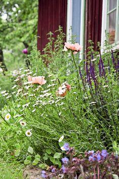 Niittymäinen istutus, jossa kasvit saavat kasvaa sekaisin toistensa lomassa, tekee puutarhaan rennon tunnelman. Päivänkakkara, vaaleanpunainen idänunikko ja loistosalvia 'Cardonna' viihtyvät aurinkoisessa paikassa ja hiekasekaisessa multamaassa. Text Anna Aho, photo Annika Christensen viherpiha.fi