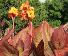 Canna Lily Guide..I have this varigated leaf Canna but it has peachy, pink flowers.
