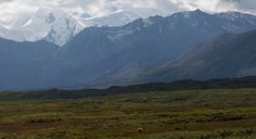 A mother grizzly and her two cubs on the breathtaking #Denali tundra in #Alaska.
